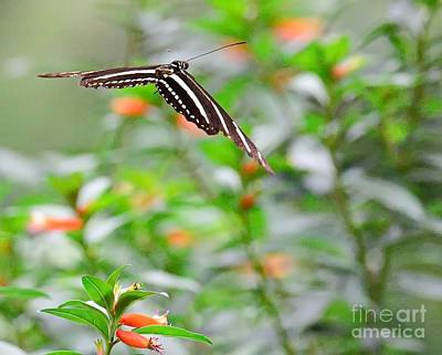 Nature Photograph - Butterfly Zebra Soars Above Garden With Frozen Wings by Wayne Nielsen