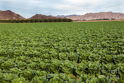 Romaine Photograph - Butterhead Lettuce Farm by Robert Bales