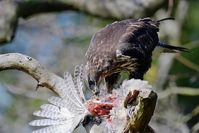 Buzzard Photograph - Buzzard Preying On A Bird Carcass by Dr P. Marazzi