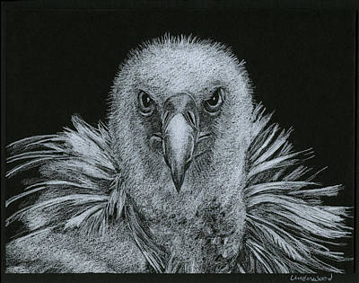 Buzzard Drawing - Buzzard by William Underwood