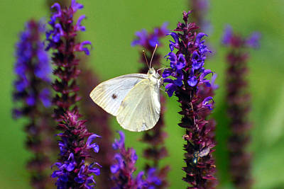 Cabbage White Butterfly Photograph - Cabbage White Butterfly by Christina Rollo