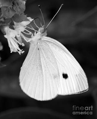Cabbage White Butterfly Photograph - Cabbage White Butterfly by Iris Richardson