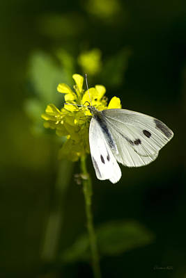 Cabbage White Butterfly Photograph - Cabbage White Butterfly On Yellow Flower by Christina Rollo