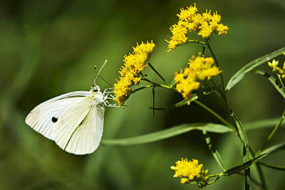 Cabbage White Butterfly Photograph - Cabbage White Butterfly On Yellow Flowers by Christina Rollo