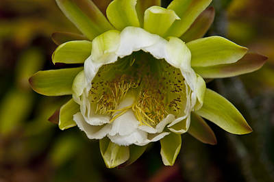 Cactus Flower 1 Print by Sharon Cummings