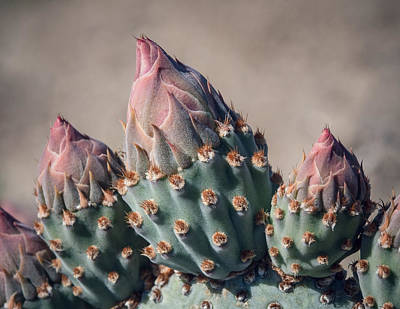 Cactus Flower Buds Print by Joseph Smith