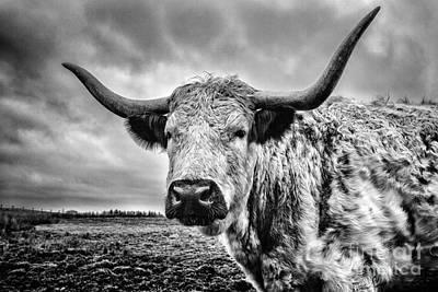 Cadzow White Cow Print by John Farnan