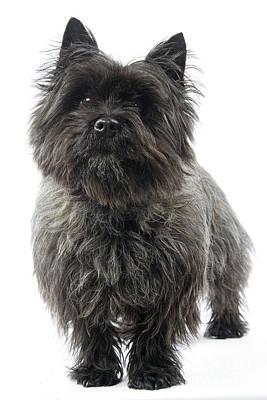 Cairn Terrier Photograph - Cairn Terrier Dog by Jean-Michel Labat