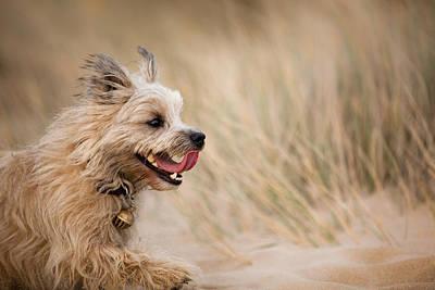Cairn Terrier Photograph - Cairn Terrier In Sand Dunes by Izzy Standbridge
