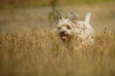 Cairn Terrier Photograph - Cairn Terrier Long Autumn Grasses by Izzy Standbridge
