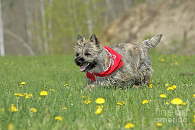 Cairn Terrier Photograph - Cairn Terrier Puppy by Rolf Kopfle