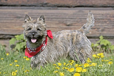 Cairn Terrier Photograph - Cairn Terrier by Rolf Kopfle