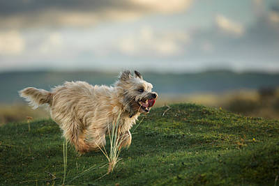 Cairn Terrier Running In The Hills Print by Izzy Standbridge