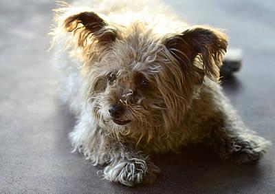 Cairn Terrier Photograph - Cairn Terrier  by Saija  Lehtonen