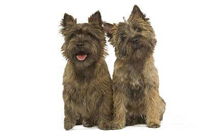 Cairn Terrier Photograph - Cairn Terriers by Jean-Michel Labat