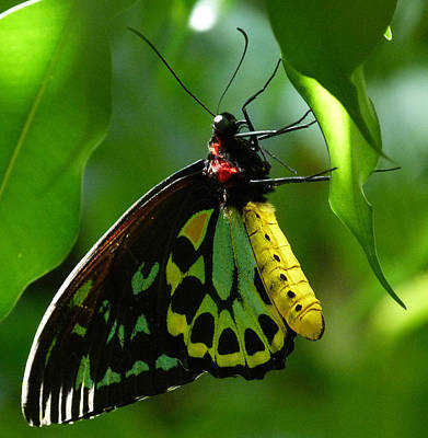 Cairns Birdwing Butterfly 3 Print by Margaret Saheed