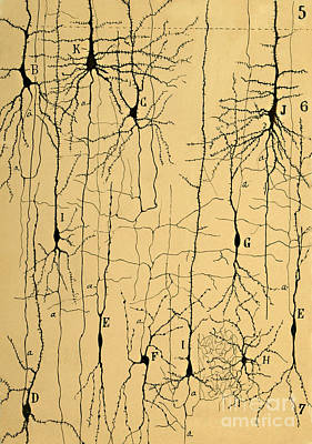 Cajal Drawing Of Microscopic Structure Of The Brain 1904 Print by Science Source
