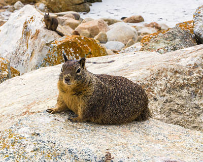 California Photograph - California Ground Squirrel With Sandy Nose by Priya Ghose