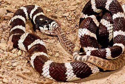 Cannibalism Photograph - California Kingsnake Eating Western by David Northcott