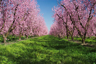 Spring Scenes Photograph - California Peach Tree Orchard  by Anonymous