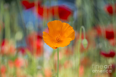 California Poppy Print by Tim Gainey