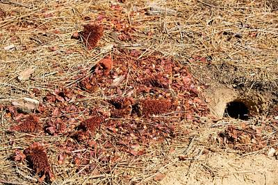 Pine Needles Photograph - Californian Ground Squirrel Burrow by Ashley Cooper