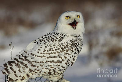 Call Of The North - Snowy Owl Print by Inspired Nature Photography Fine Art Photography