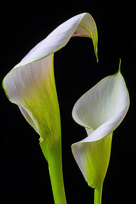 White Flower Photograph - Calla Liliy Shapes by Garry Gay