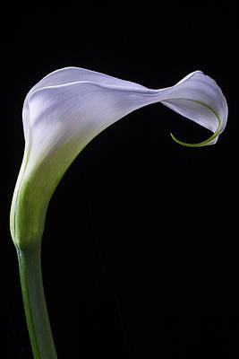 Calla Lily Cural Print by Garry Gay