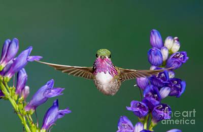 Calliope Hummingbird Stellula Calliope Print by Anthony Mercieca