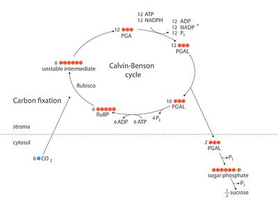 Calvin-benson Metabolic Cycle Print by Science Photo Library