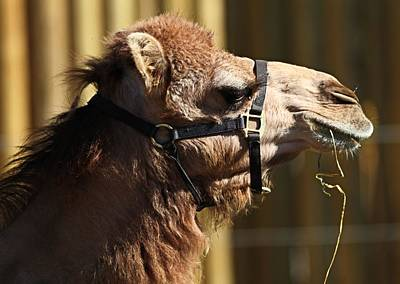 Camel Photograph - Camel Eating by Dan Sproul