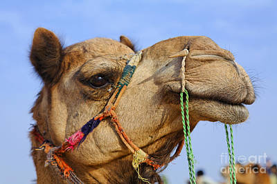 Camel Photograph - Camel In The Thar Desert In Rajasthan India by Robert Preston