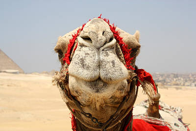 Camel Kiss Print by Laura Hiesinger