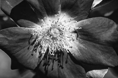 Eureka Springs Photograph - Camellia Bw by Carolyn Marshall