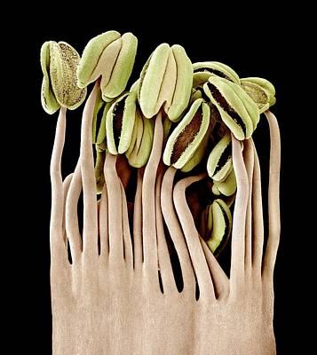 Camellia Flower Stamens, Sem Print by Science Photo Library