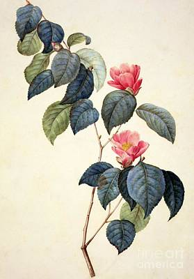 Leaf Drawing - Camellia Japonica by Pierre Joseph Redoute