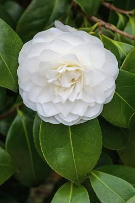 Camellia Japonica 'primavera' Print by Geoff Kidd