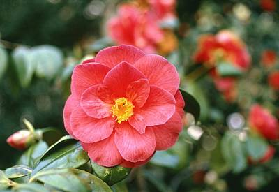 Camellia Japonica Print by Science Photo Library
