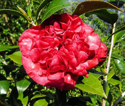 Tropical Photograph - Camellia Sasanqua by Zina Stromberg