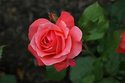 Camelot Grandiflora Rose Original by Allen Beatty
