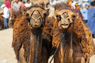 Camel Photograph - Camels At The Ashgabat Sunday Market In Turkmenistan by Robert Preston