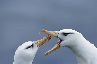 Campbell Albatross Courtship  Campbell Print by Tui De Roy