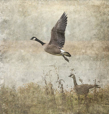Canada Geese 2 Print by Angie Vogel