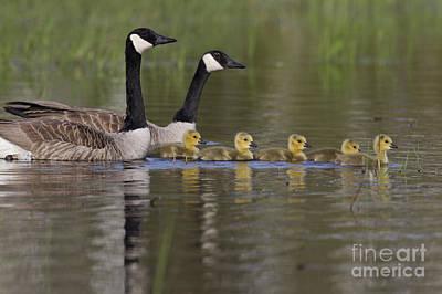 Canada Geese And Goslings Print by Linda Freshwaters Arndt