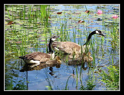 Canada Geese Family On Lily Pond Print by Rose Santuci-Sofranko