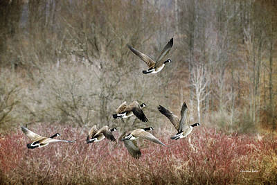 Canada Geese In Flight Print by Christina Rollo