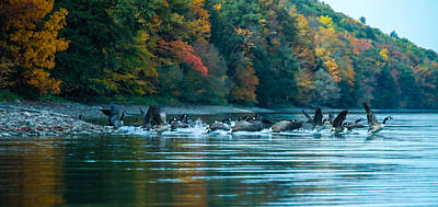 Canada Geese Taking Flight Print by Steve Clough