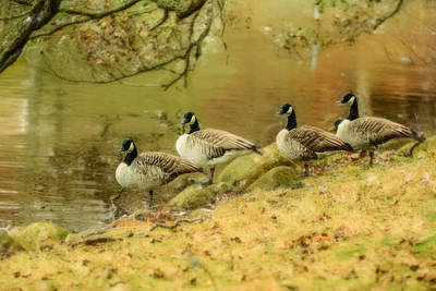 Geese Mixed Media - Canada Geese by Toppart Sweden