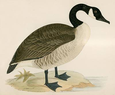 Goose Drawing - Canada Goose by Beverley R Morris